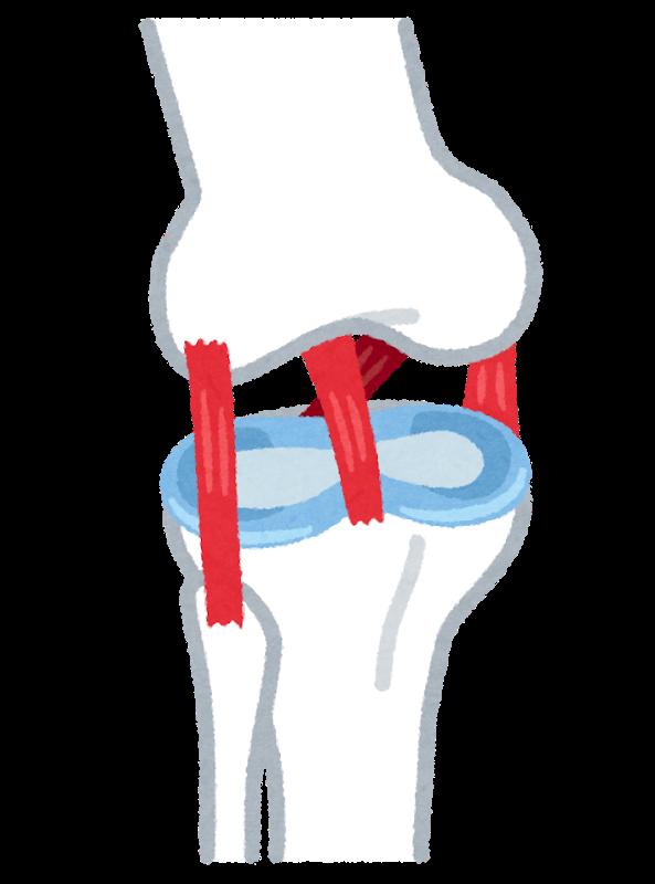 いらすとやによる膝前十字靭帯のイラスト