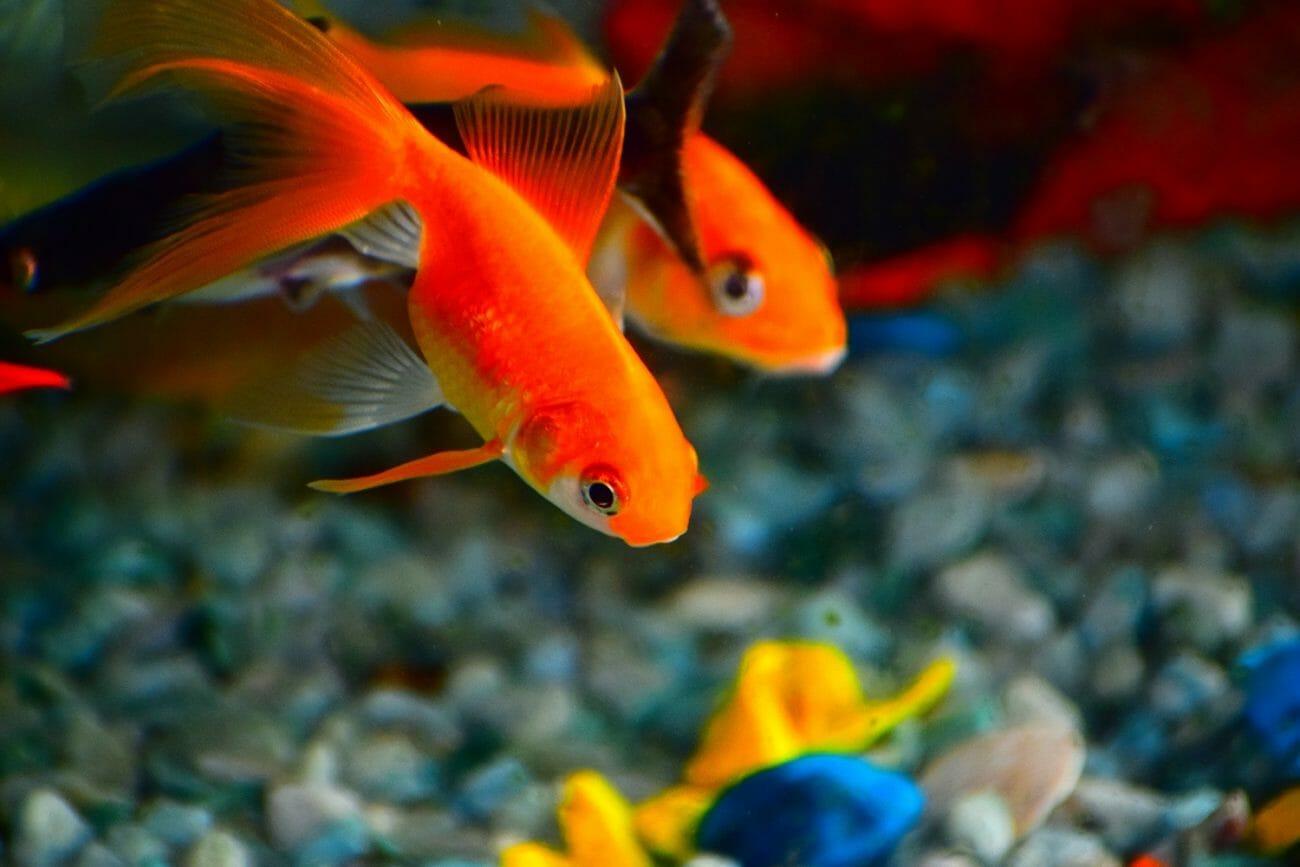 金魚はヒトよりも我慢強い?